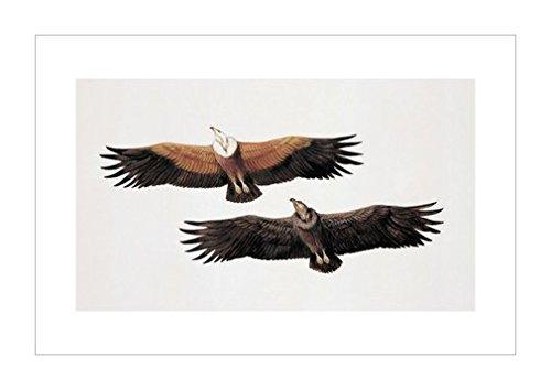 原版进口装饰画 两个格里芬秃鹰 (兀茅)【two griffon vultures (gyps