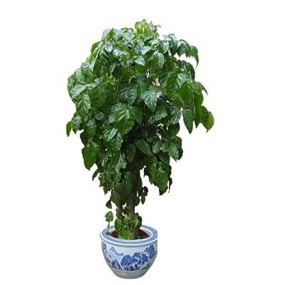 立泰悦达 绿植 绿色植物 绿宝 幸福树 常绿植物 室内植物 高档盆花