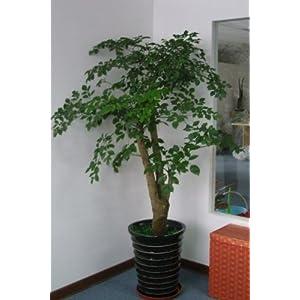 幸福树盆栽