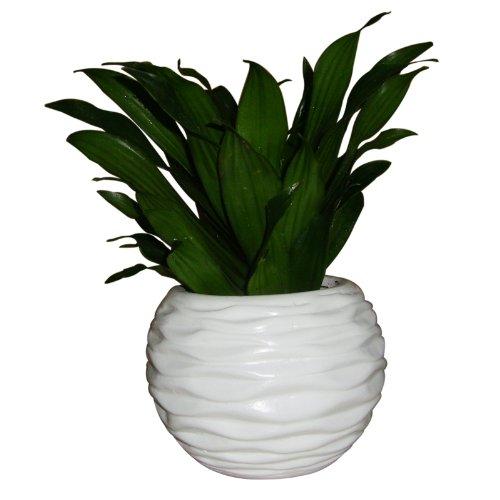 回至 立泰悦达 太阳神盆栽 绿色植物 室内植物 高档礼品花卉 l1185(h