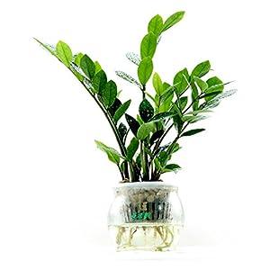 【花清枫】如水金钱树盆栽,容易养,好成活 办公室盆景