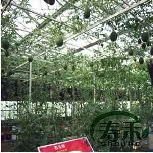 寿光蔬菜种子 西瓜树种子