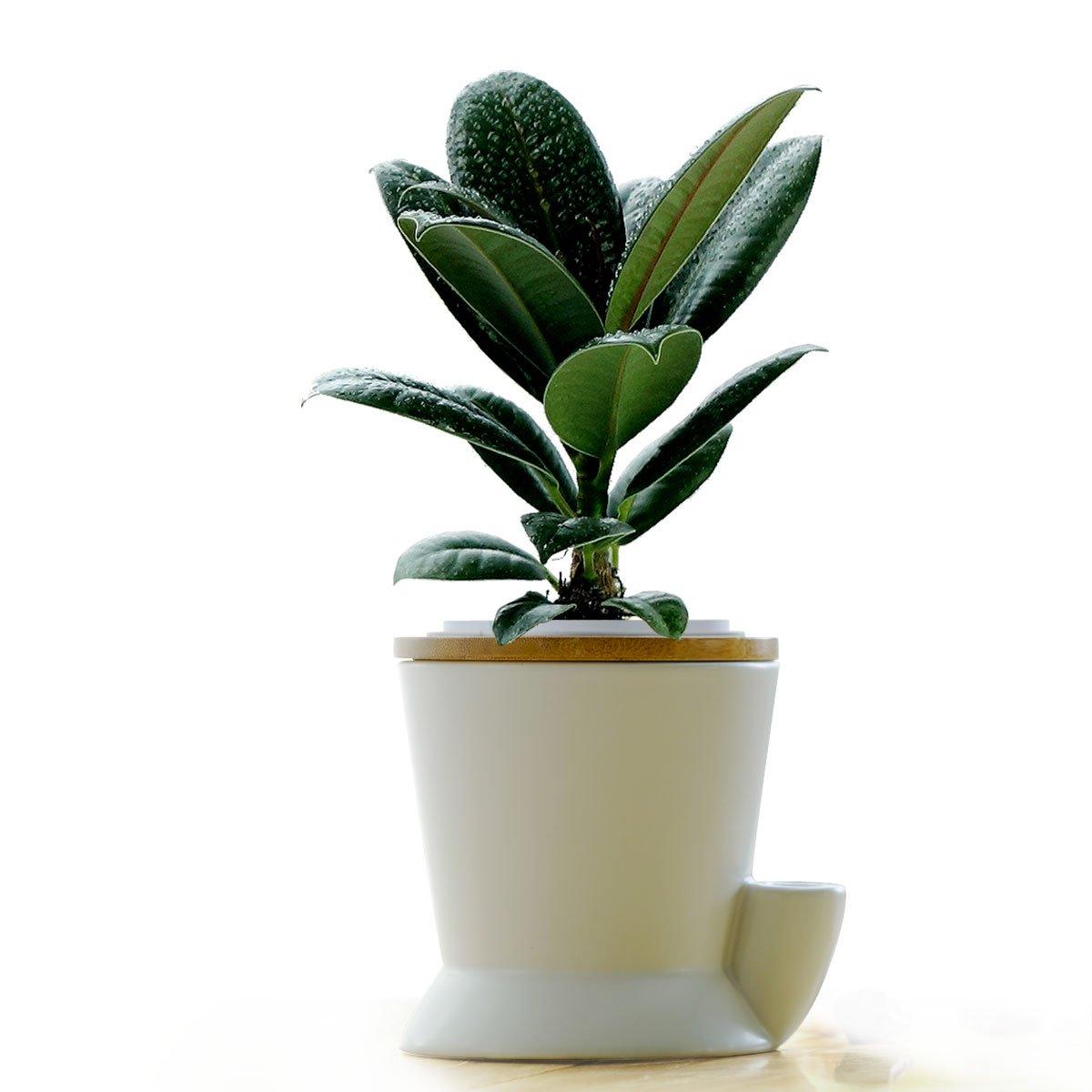 如水黑金刚盆栽 水培橡皮树花卉植物绿植盆景【活力棉