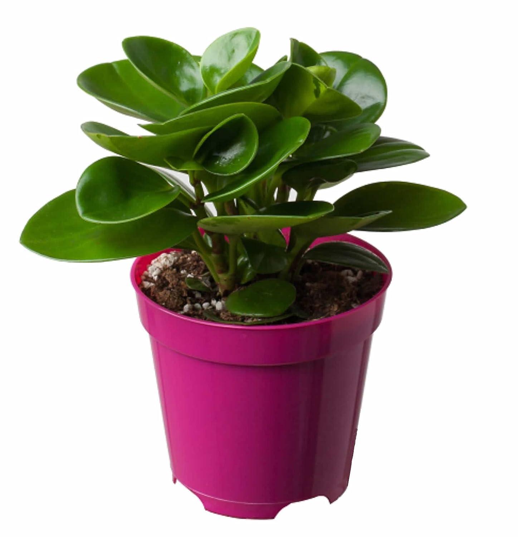 虹越 花彩 绿植盆栽 豆瓣绿 青叶碧玉 防雾霾抗辐射净化空气吸甲醛 高